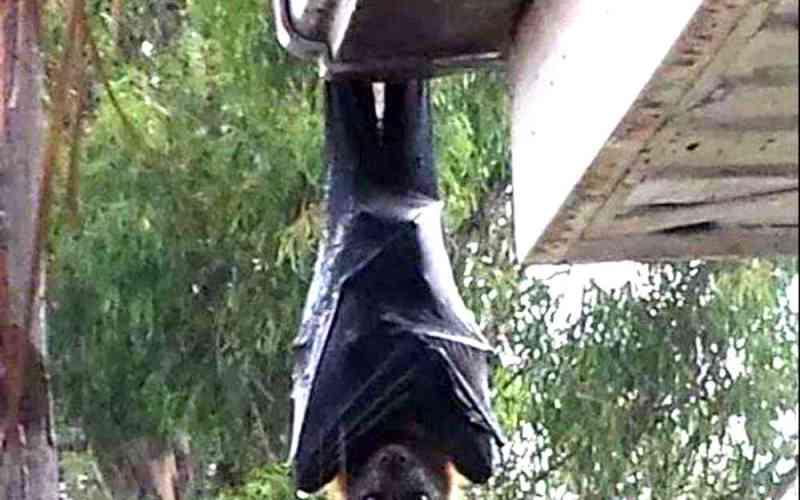 世界一大きいコウモリ