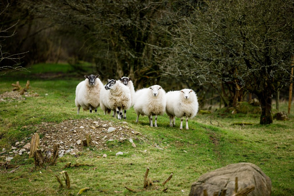 Hill sheep