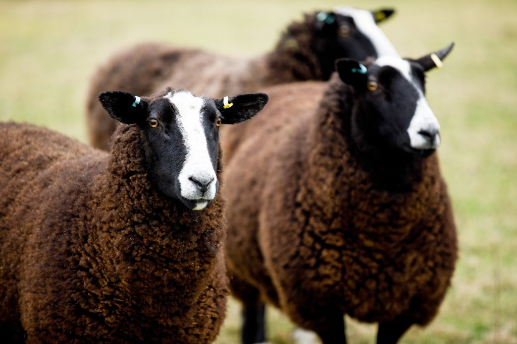 Zwartbles sheep of Holmus