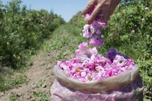 Harvesting rose petals used in Holos cosmetics
