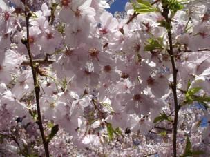 plum_blossom1