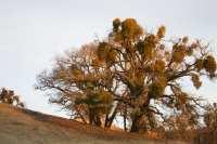 Bell Valley Mistletoe