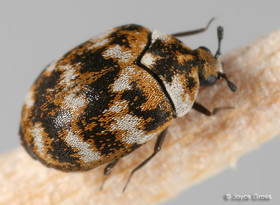 And Black Beetle Carpet House Brown
