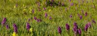 Aflyst – Danmarks vilde orkidéer – 30 års overvågning og status