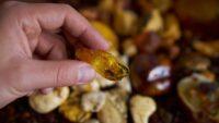 Verden i rav – insekter og andet liv i rav