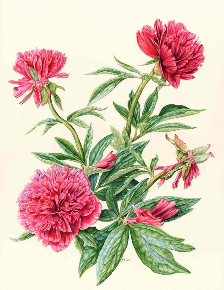 This image has an empty alt attribute; its file name is peony-792x1024.jpg