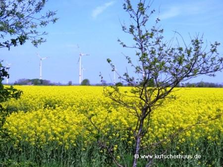 Rapsfeld Ostfriesland2