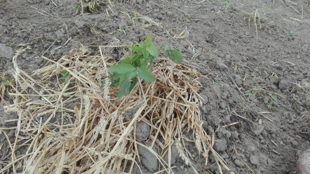 Zum Schutz werden die Jungpflanzen mit Stroh geschützt