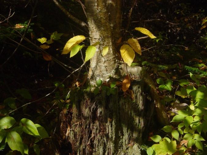 tree-on-stump.jpg