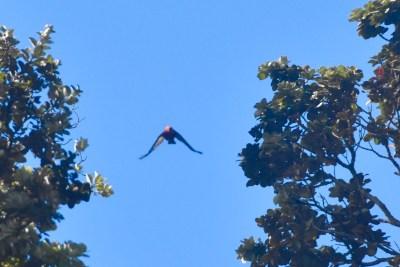 'Apapane in flight