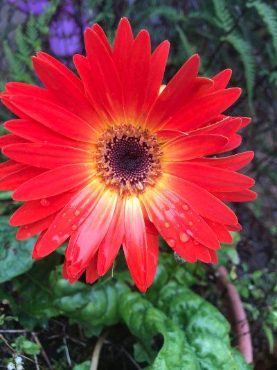 A red genera blossom.