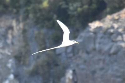 A koa'e kea in flight.