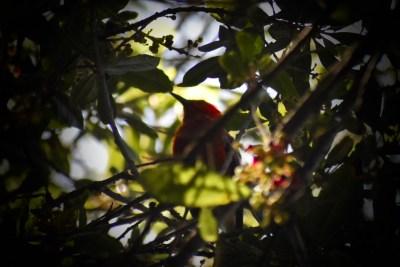 The head and beak of an 'apapane amidst leaves.