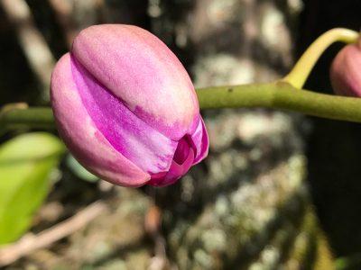 A flower bud, not yet open.