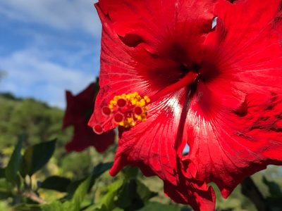 A red hibiscus in sunlight.