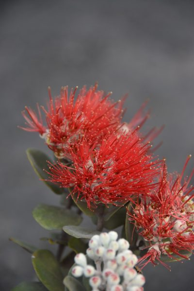Ohi'a blossoms on a small ohi'a plant