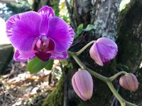 An orchid in blossom and a string of buds.