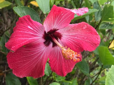 A hibiscus with raindrops.
