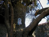 Photo: Paul Perry, a tree which is believed to have given shelter to the Holy Family during their visit to Dayrut Al–Sharif.