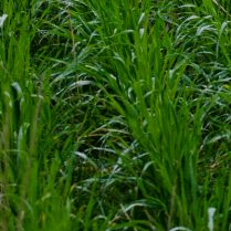 Pasture cropping 2016 at holy goat farm, sutton grange