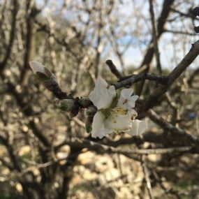 First blooms of an almond tree at the Tent of Nations.