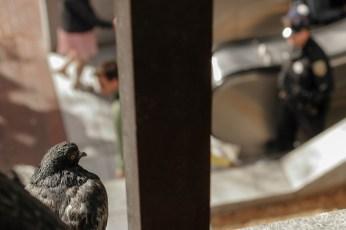 Pigeon | Police
