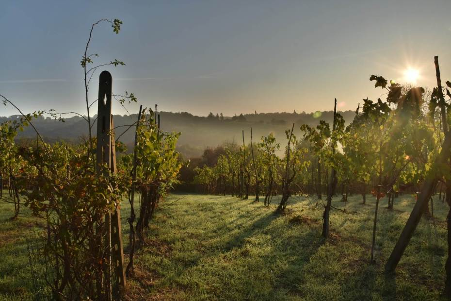 photo of a vineyard early in the morning