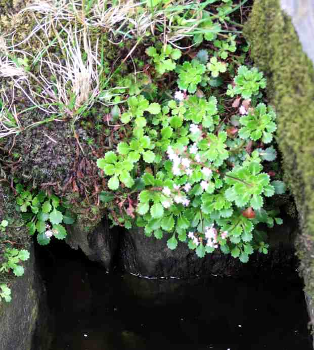 St Patrick's Cabbage