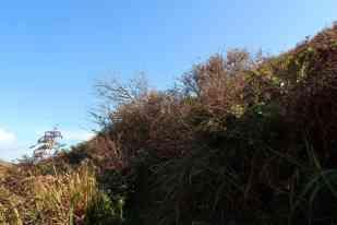 Fuchsia bushes
