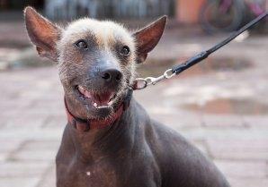 Mexicaanse-naakthond