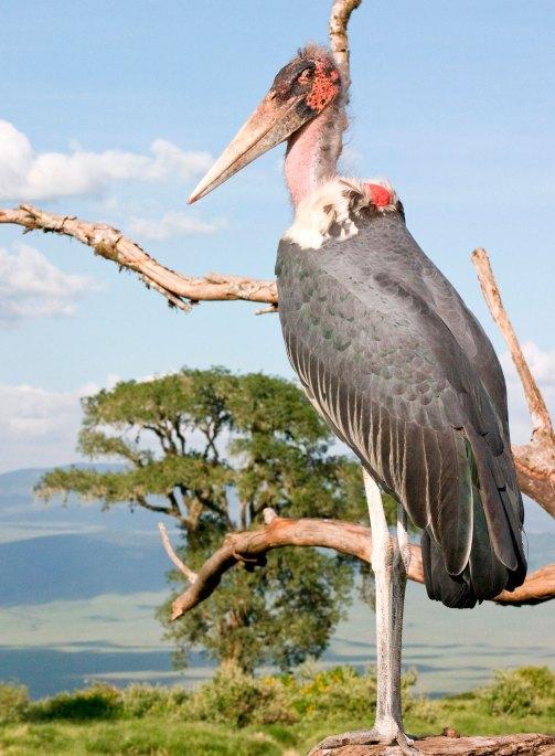 Vogel-Africa