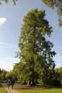 Urwaldmamutbaum
