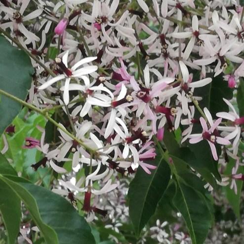 Cinamomo en flor
