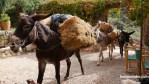 Burros cargando con mercancías en la montaña