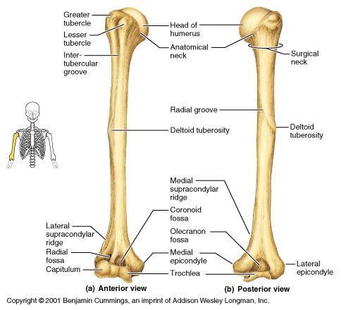 human mandible diagram 8n wiring theskeleton