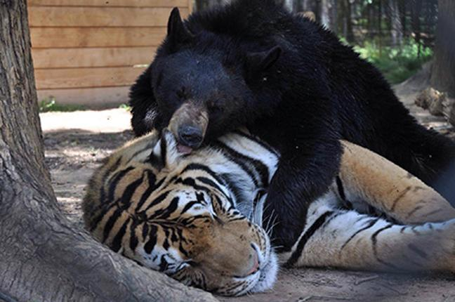 Bear, lion and tiger are best friends