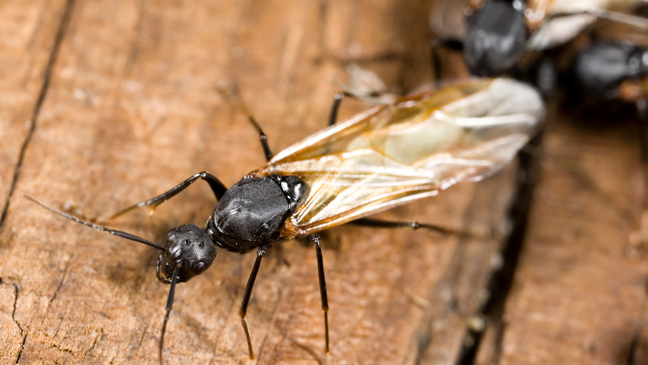 How To Get Rid Of Flying Ants Debug Pest Control Water Mites In Bathroom