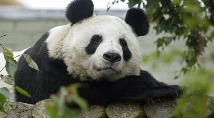watch this giant panda