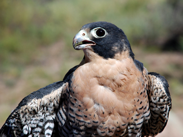 Peregrine falcon (NPS photo).
