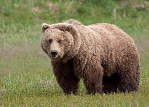 الدب من الحيوانات القارته اي انه ياكل النباتات والحيوانات