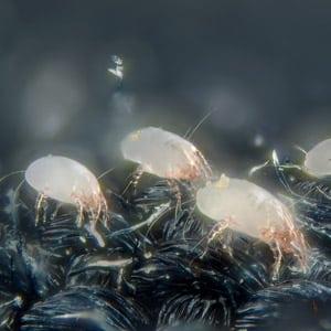 Photo of Dust Mites