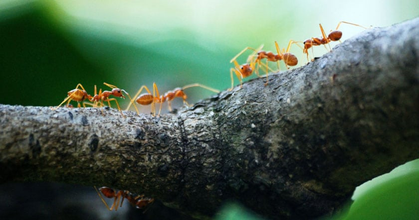 Photo of ants on a branch