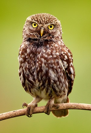 Little Owl in the wild