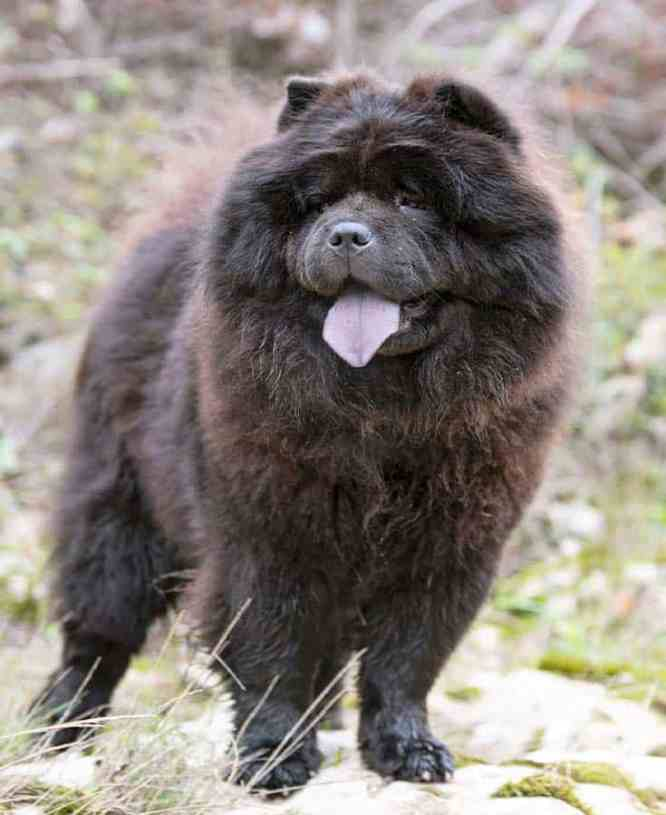 black chow with tongue out