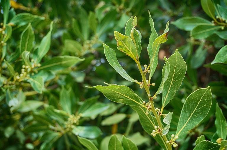Vavřín neboli bobkový list je v kuchyni nenahraditelný