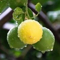 Zelený citron není nezralý aneb Jak poznat plod ke konzumaci