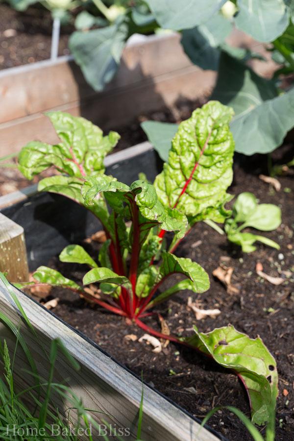 garden, bok choy, how to grow bok choy