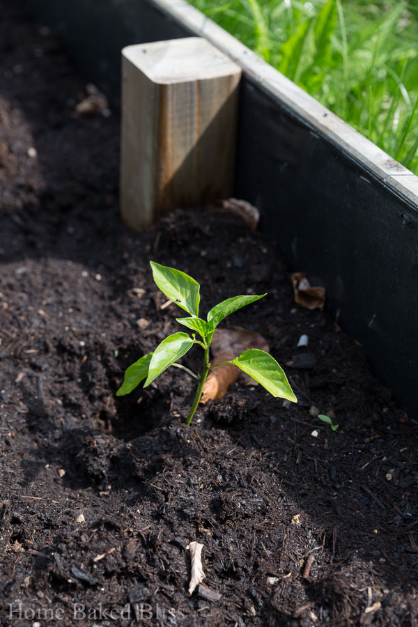 bell peppers, garden, how to grow bell peppers