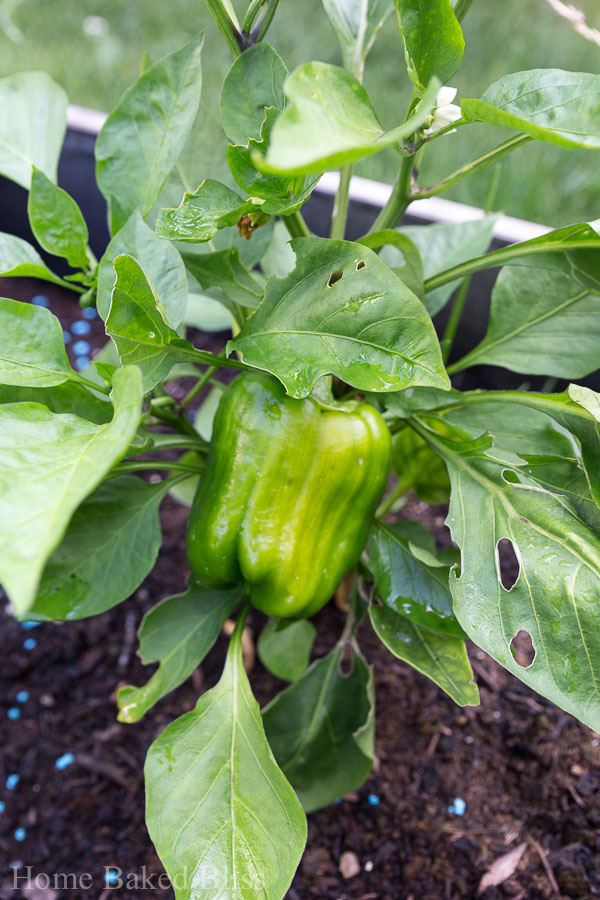 A green bell pepper growing