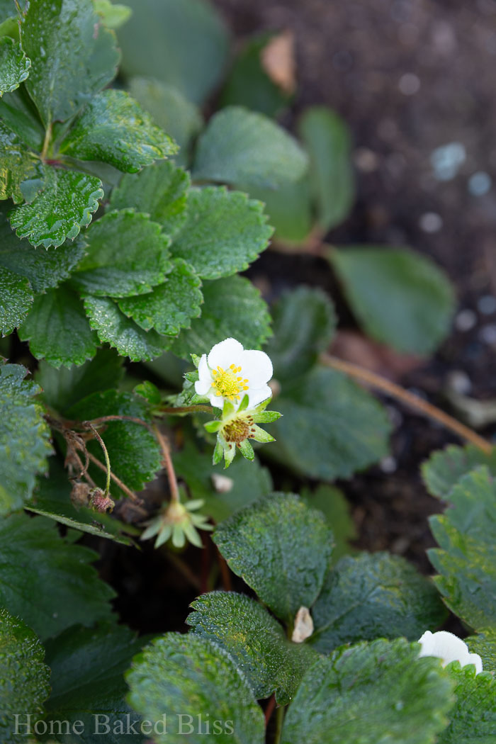 A blooming strawberry plant.